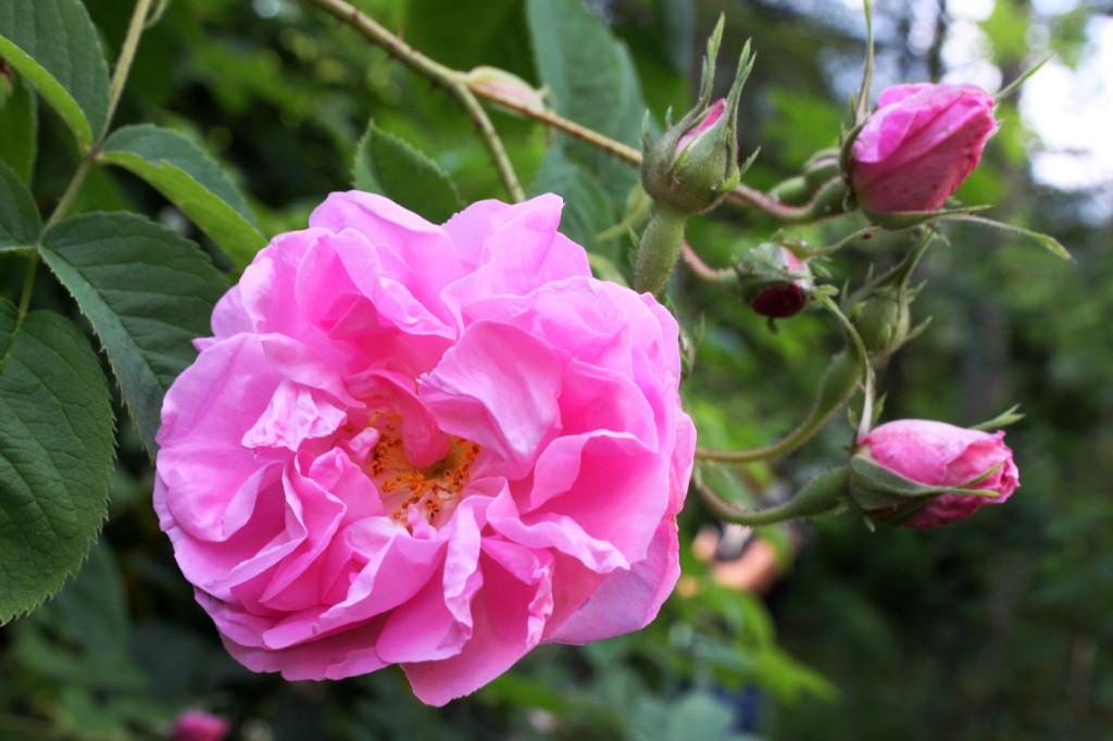giardino delle rose antiche villa welsperg