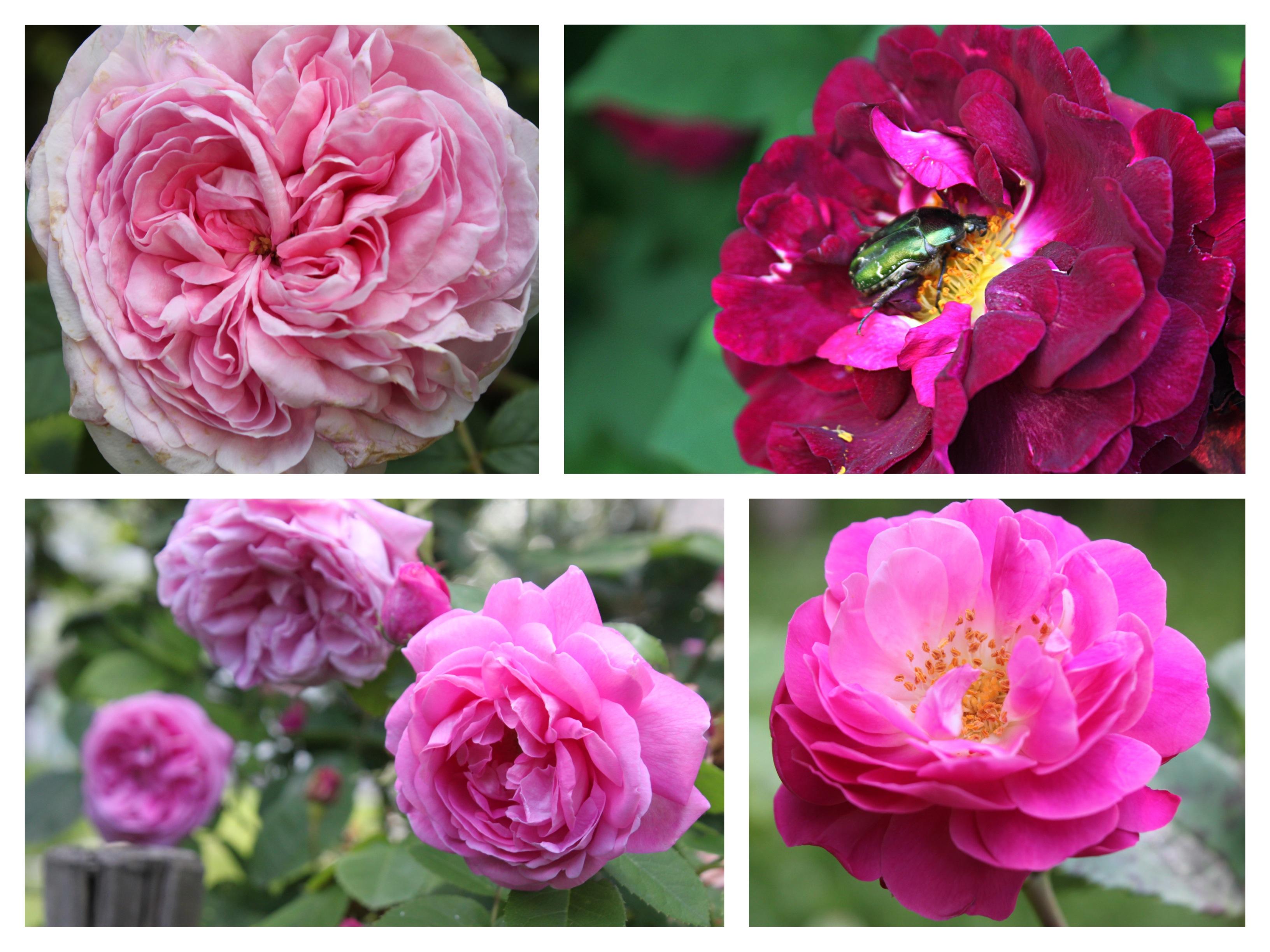 giardino delle rose antiche
