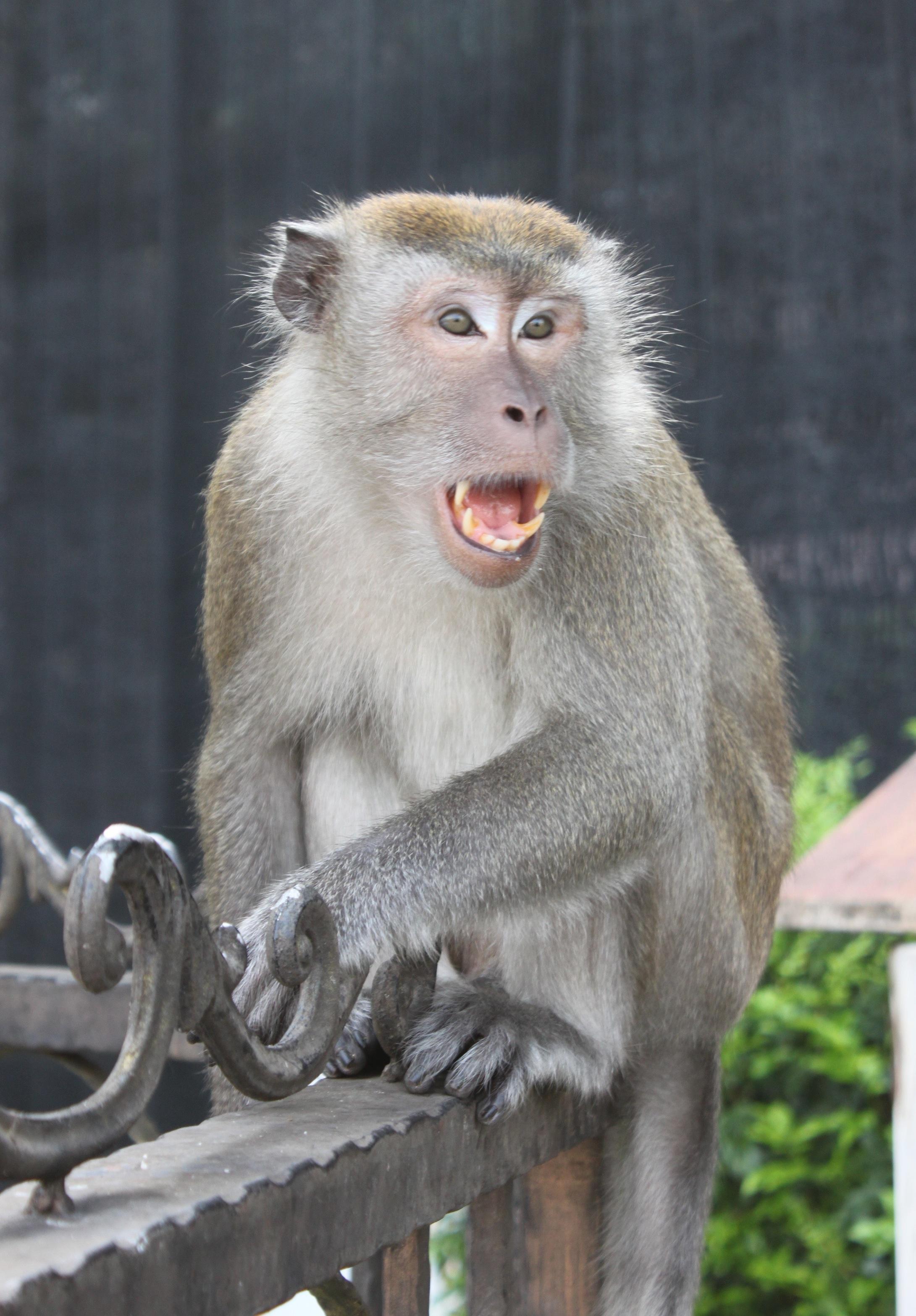 Macaco arrabbiato alle Batu Caves