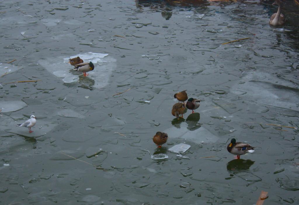 A Stoccolma le papere camminano sulle acque