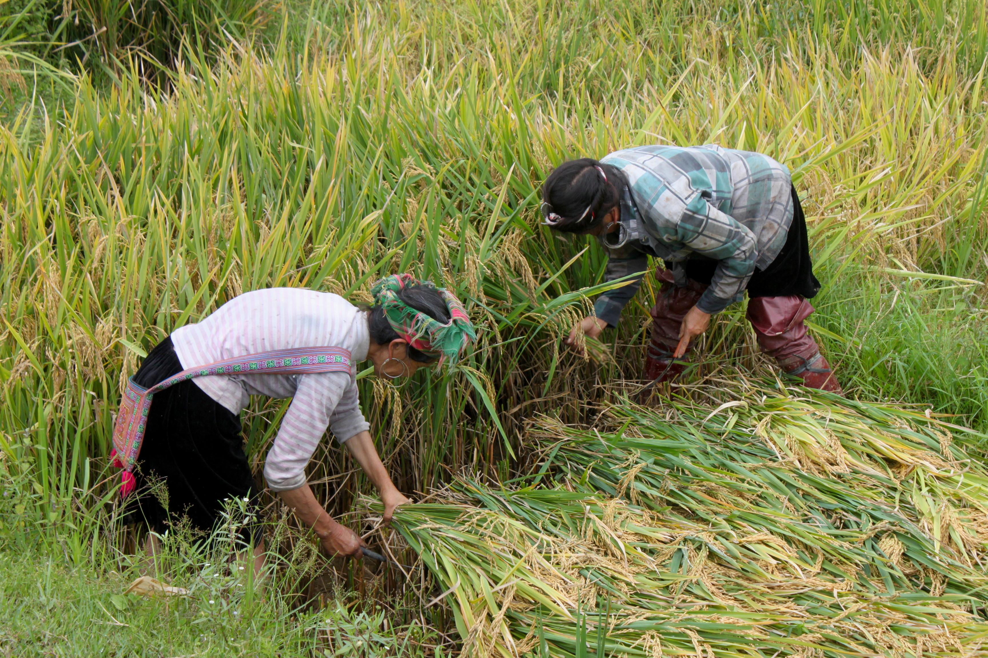 Al lavoro nelle risaie