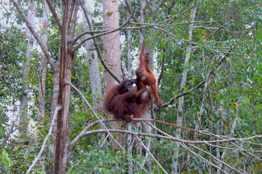 Mamma orango e piccolo orango al Semenggoh Orang Utan Wildlife Centre