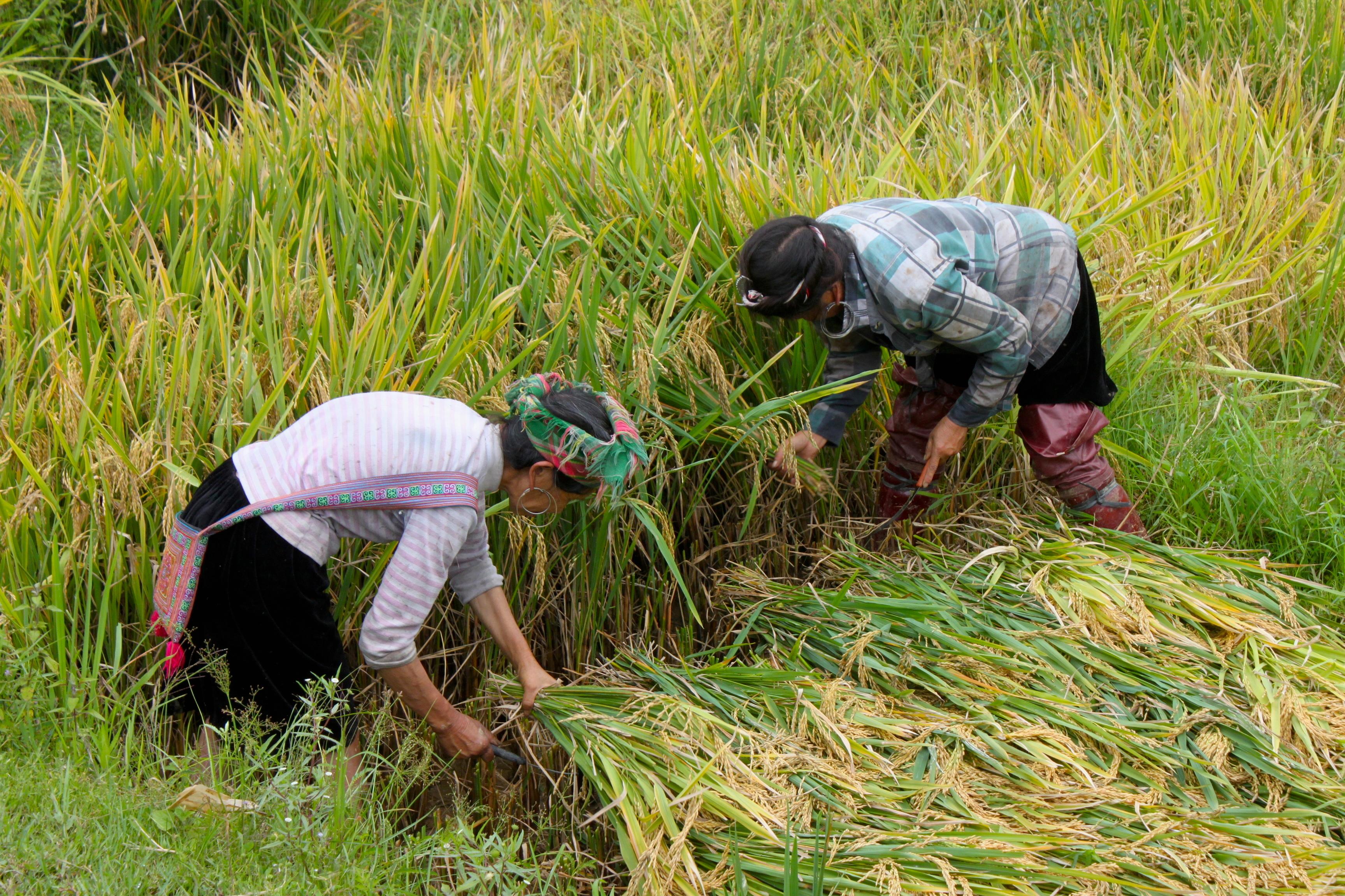 Le donne di Sapa iniziano a lavorare nelle risaie a 12 anni. Sono lunghi i giorni