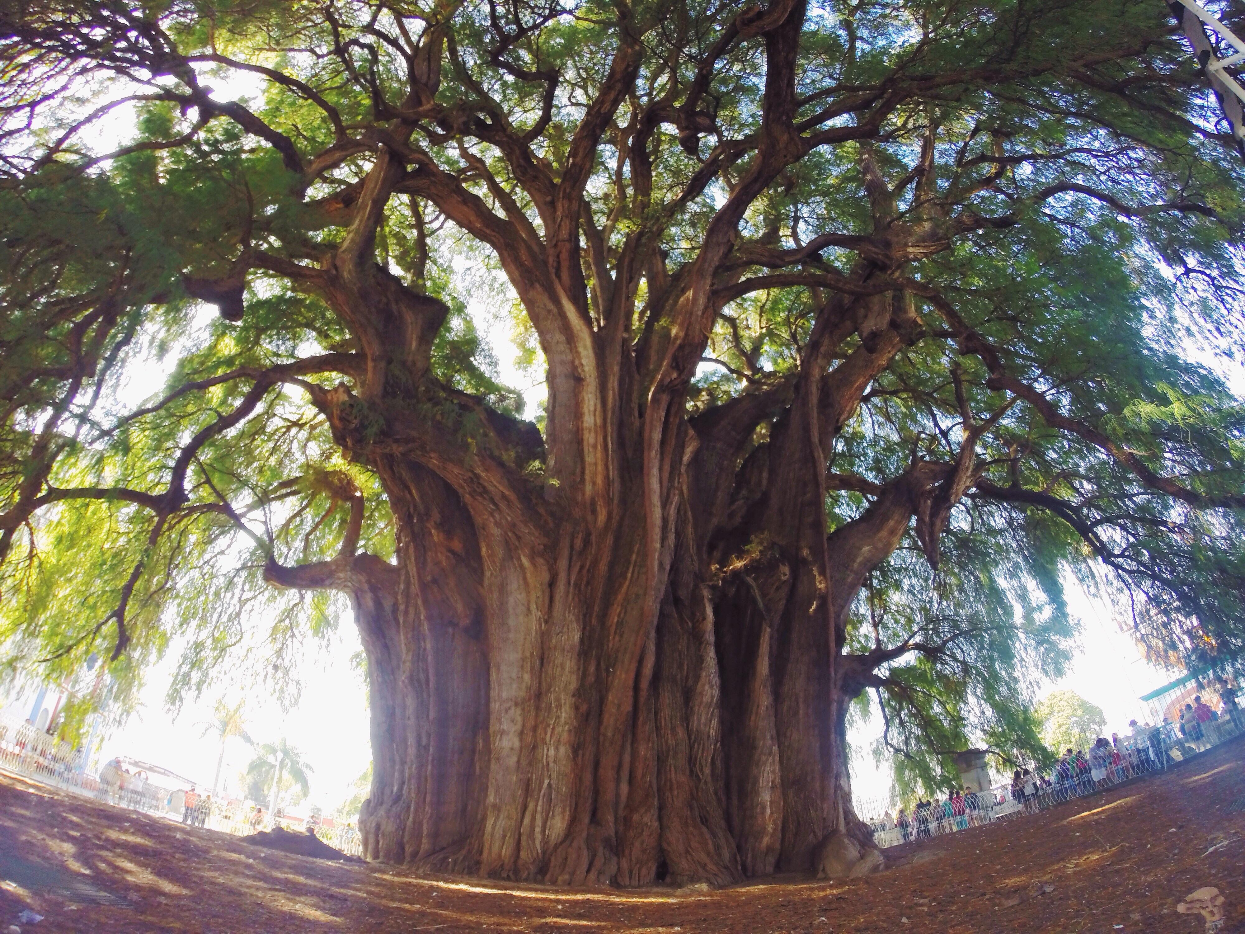 A El Tule abbiamo incontrato l'albero più largo del mondo (per avere un punto di riferimento guardate le persone in basso a destra).