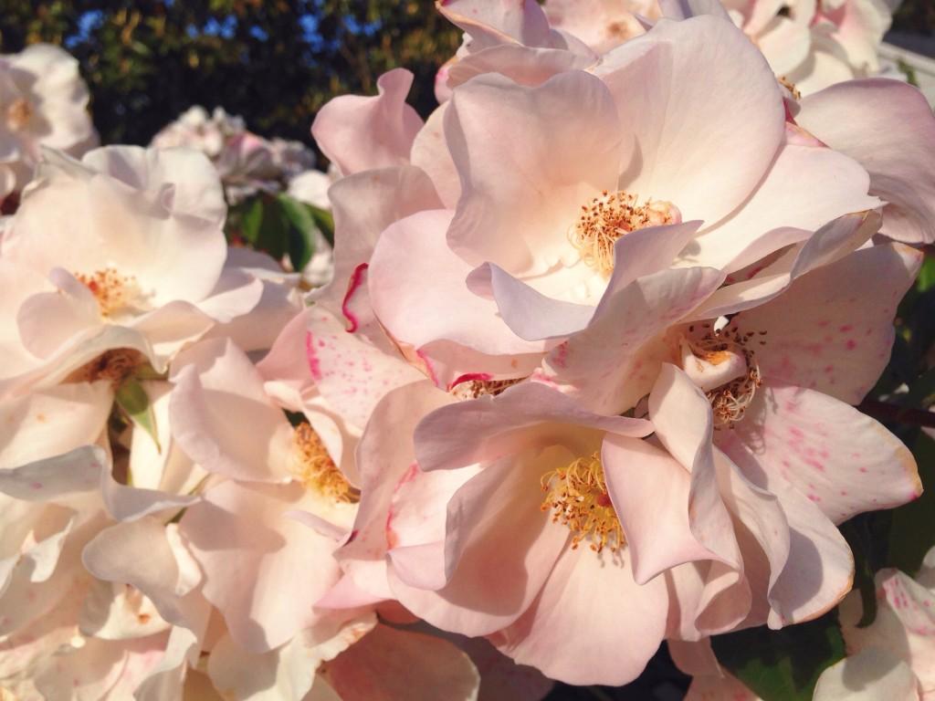 Le rose di Rose Avenue