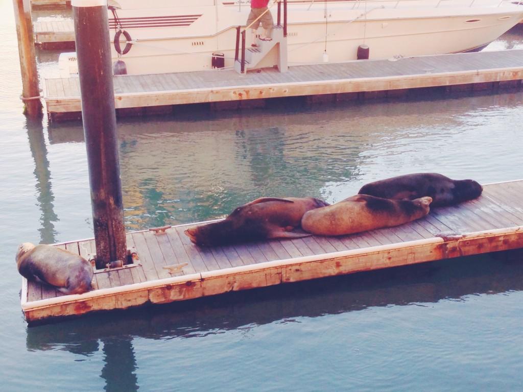 I leoni marini di San Francisco, al Pier 39-