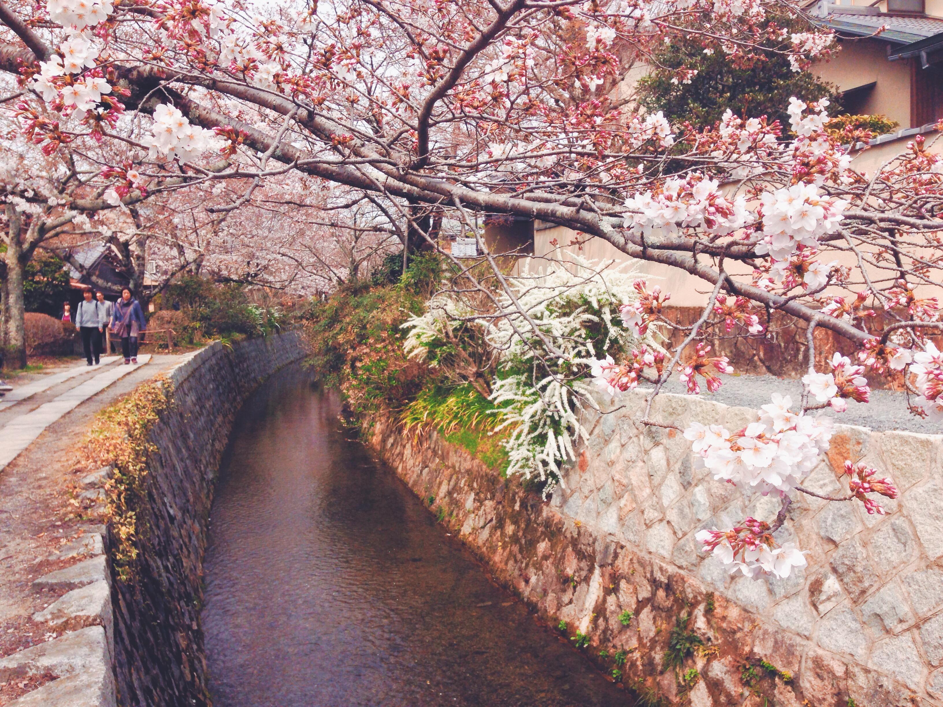 Ciliegi in fiore a Kyoto lungo la passeggiata del filosofo in Giappone