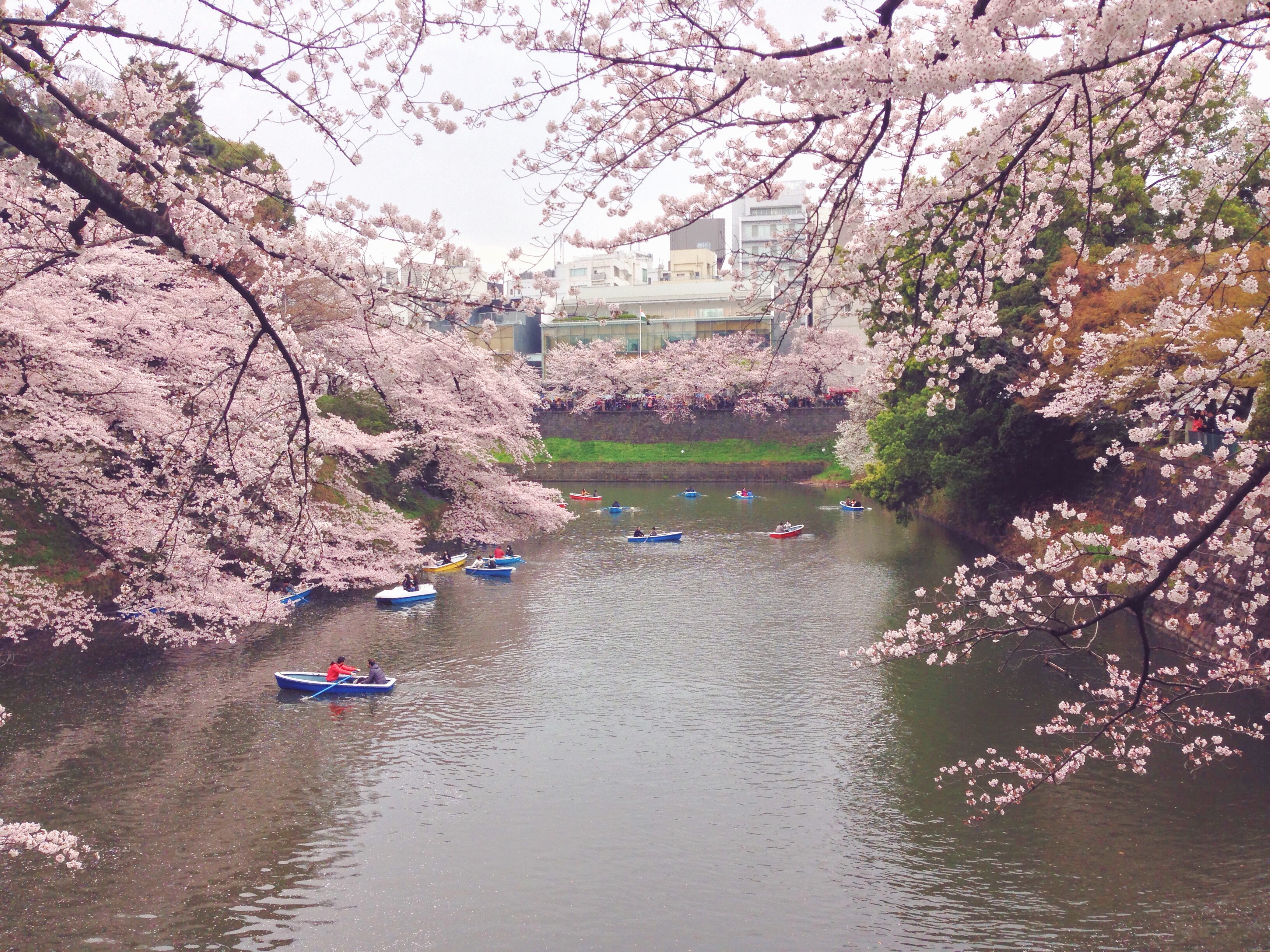 Ciliegi in fiore a Tokyo al Parco Imperiale in Giappone