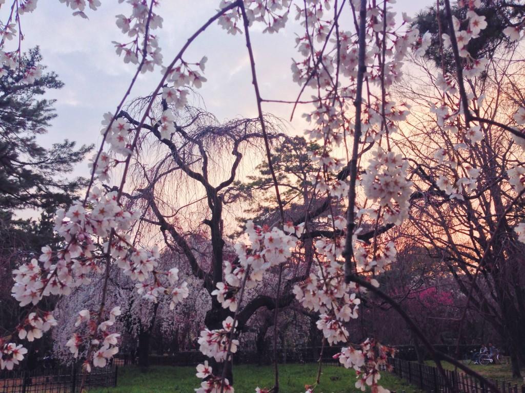 Ciliegi in fiore al tramonto a Kyoto in Giappone