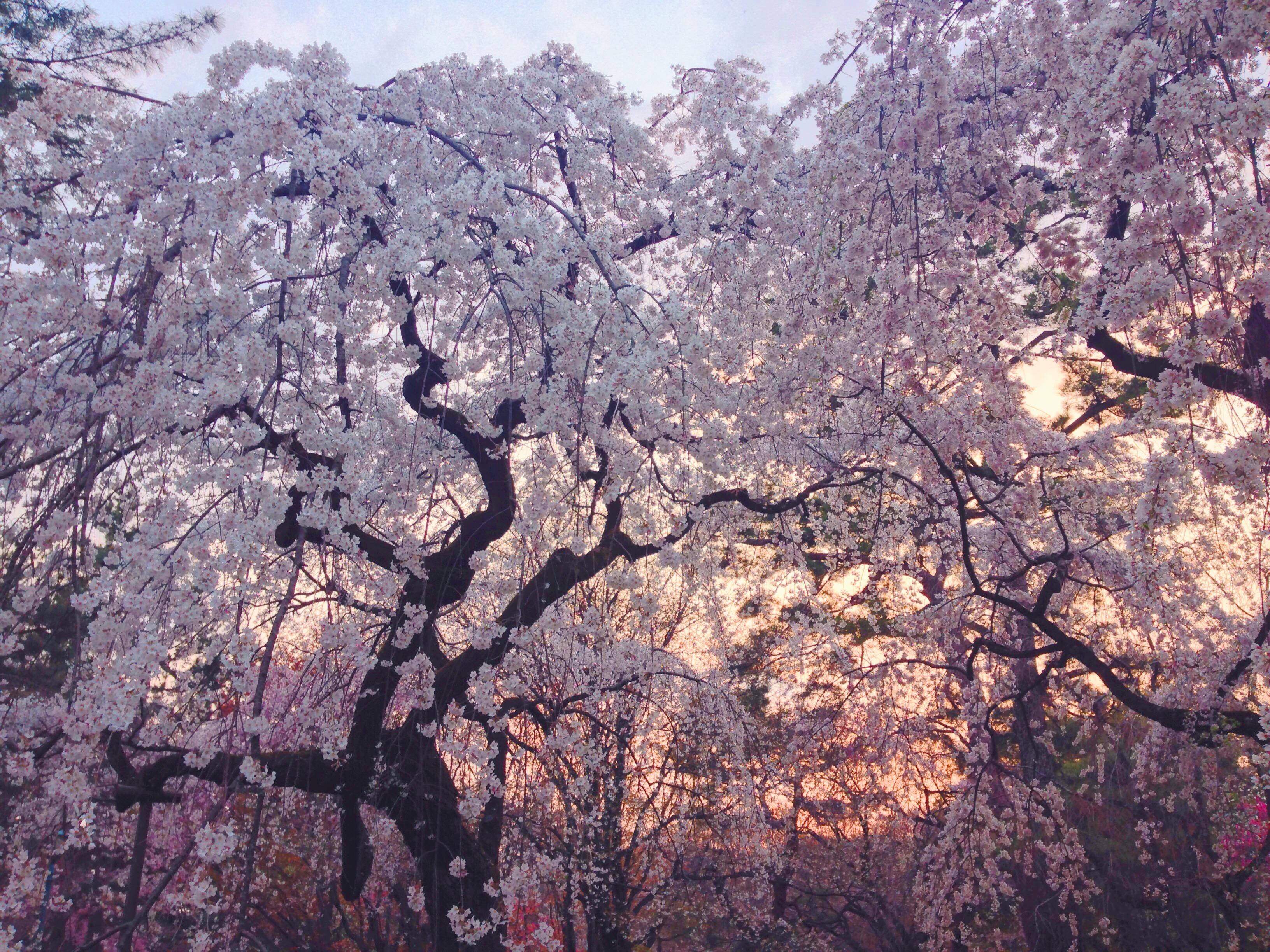 Ciliegi in fiore al tramonto in Giappone