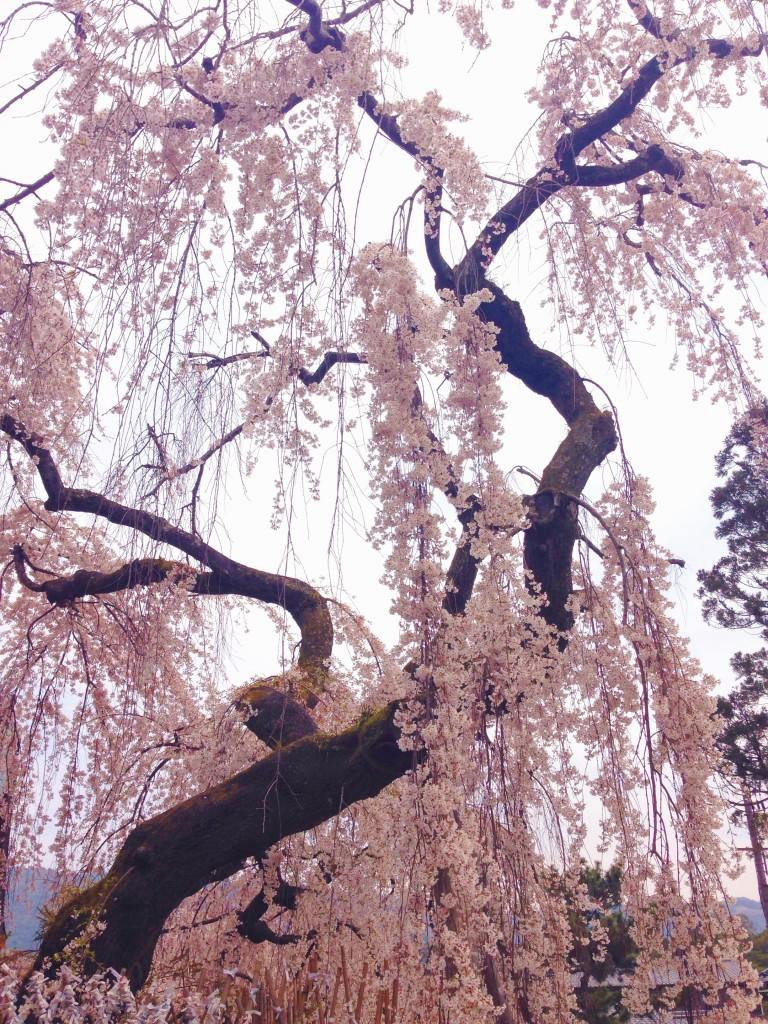 Ciliegi in fiore in Giappone - marzo 2016