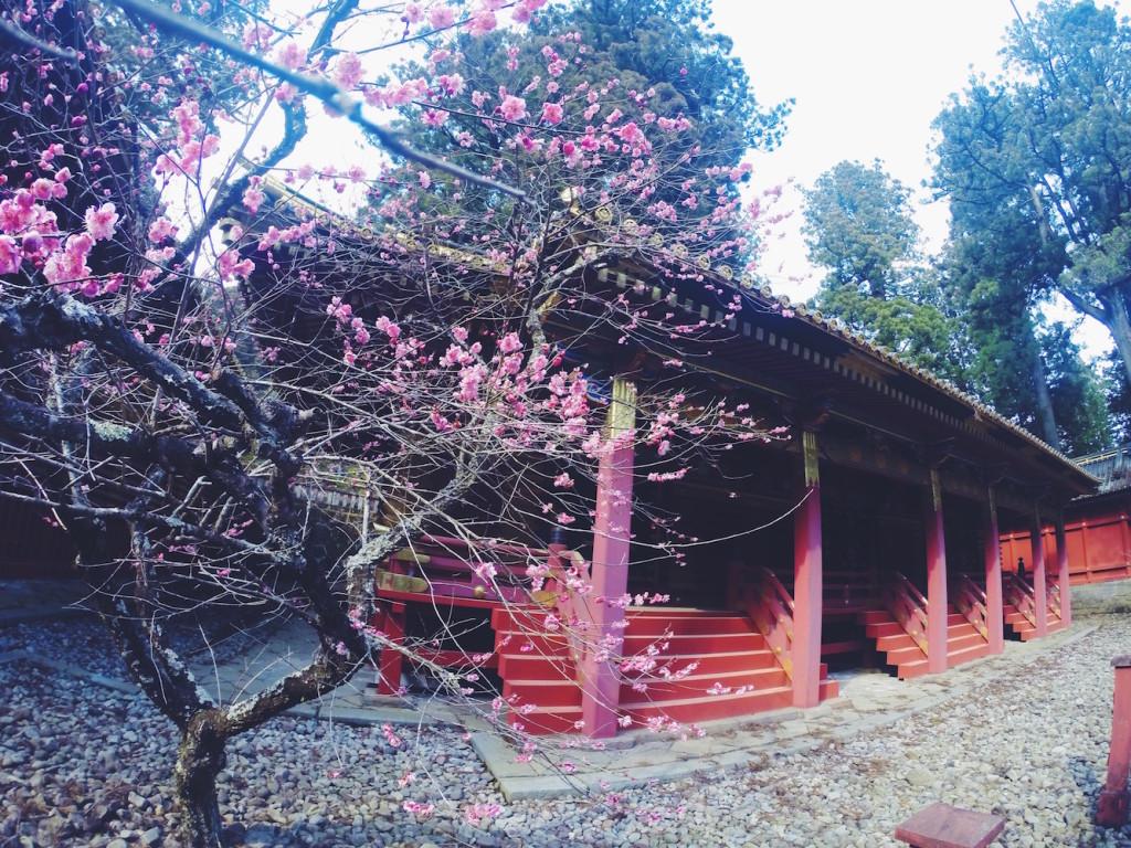 Arriva la primavera con i sakura al Santuario Tonsho-gu