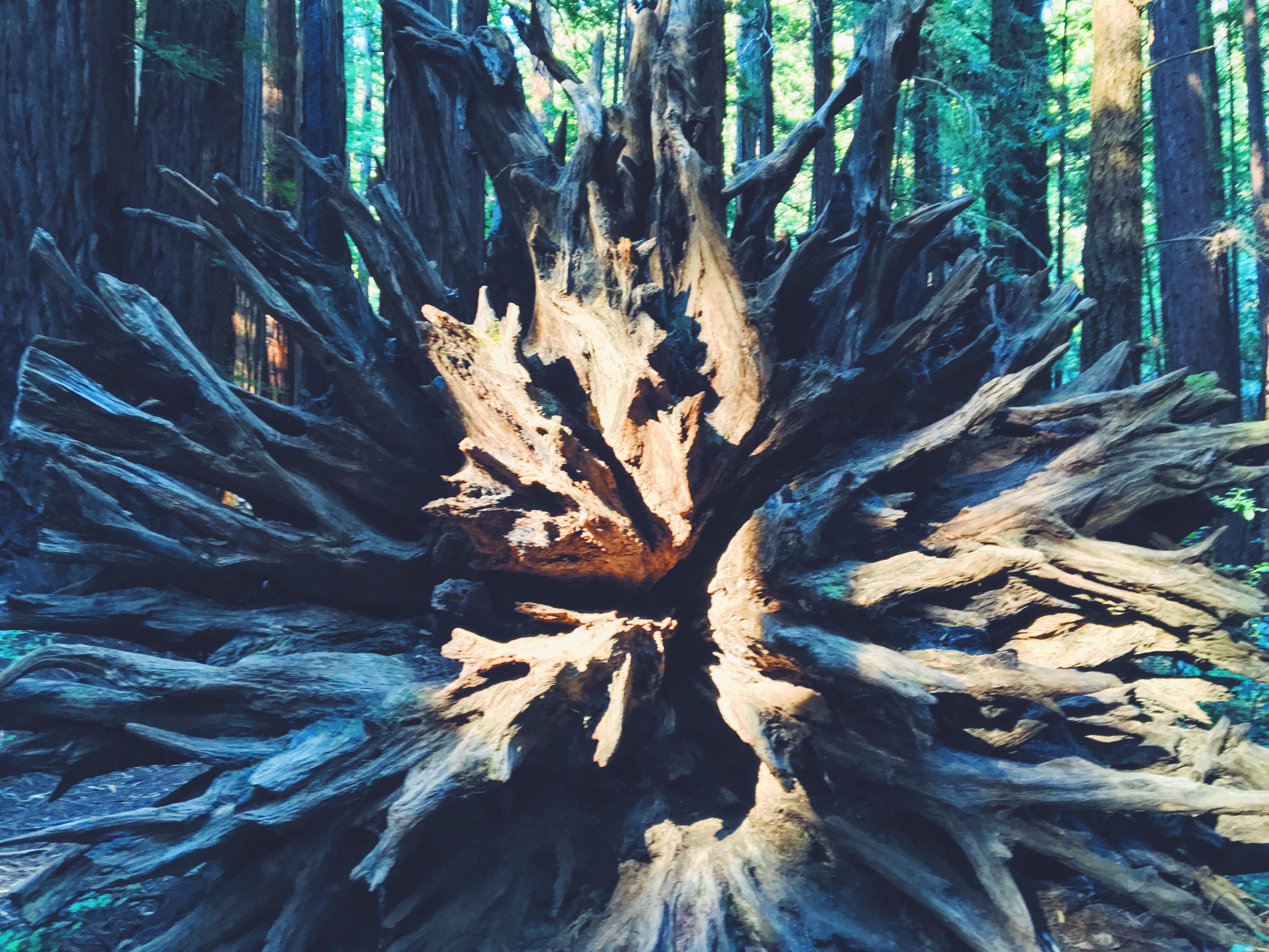 Foresta di sequoie del nord della California, l'Armstrong Redwoods Reserve