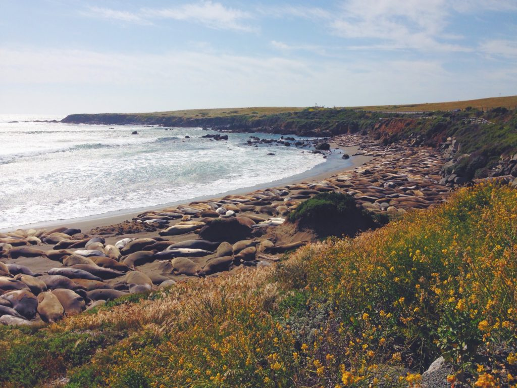 gli elefanti marini spiaggiati a Point Piedras Blancas sono la tenerezza infinita
