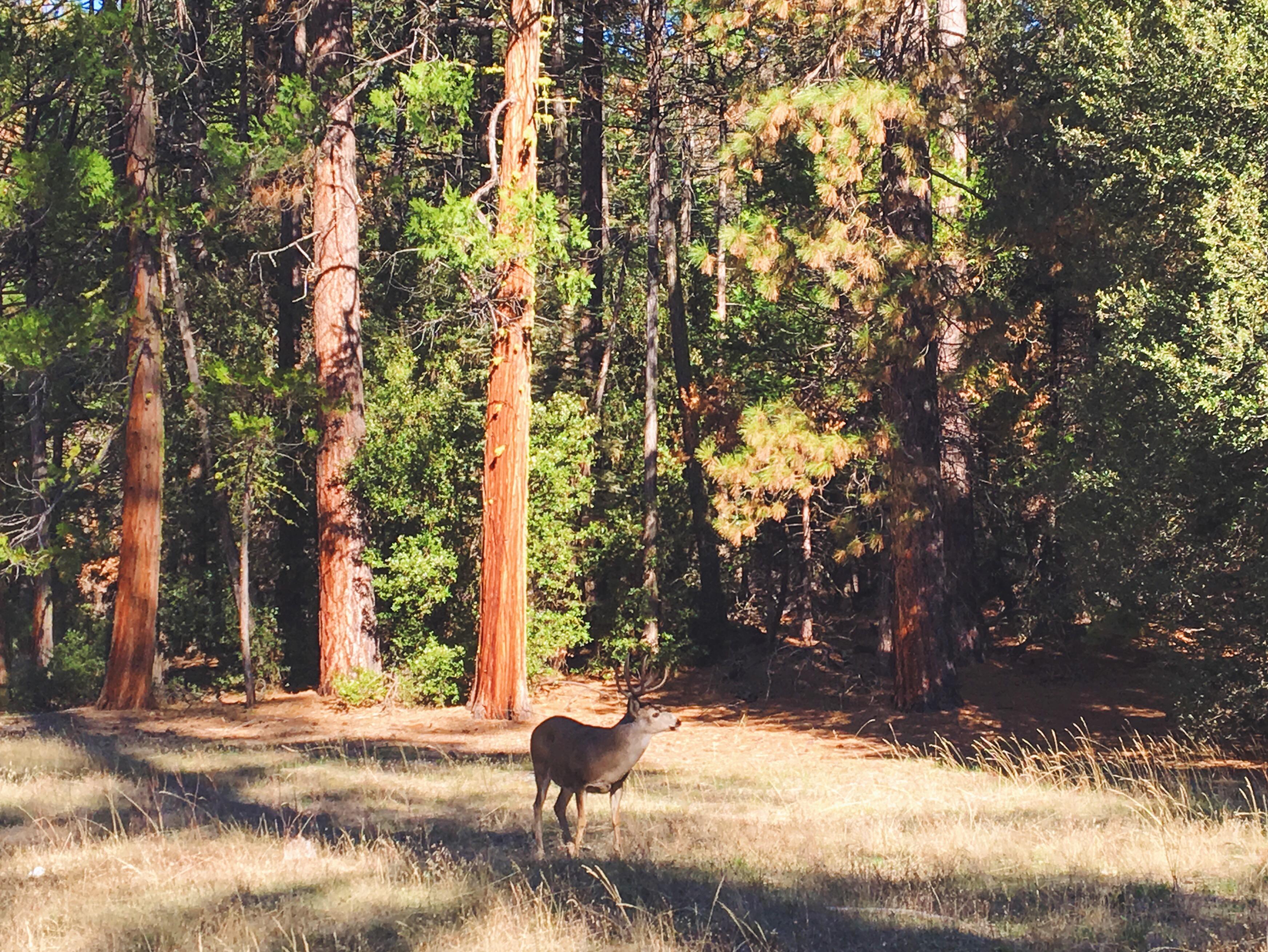 Cervo allo Yosemite National Park in autunno