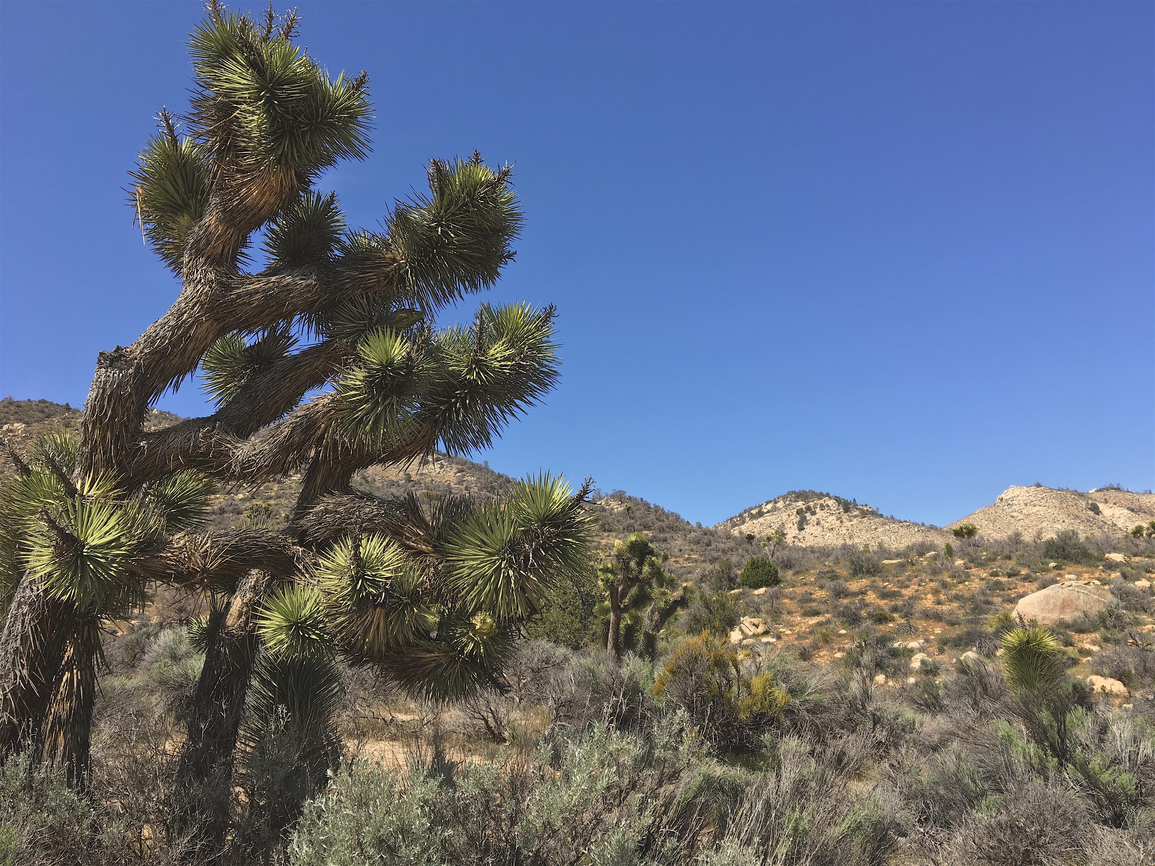 Visitare il Deserto del Mojave in California con i Joshua Trees