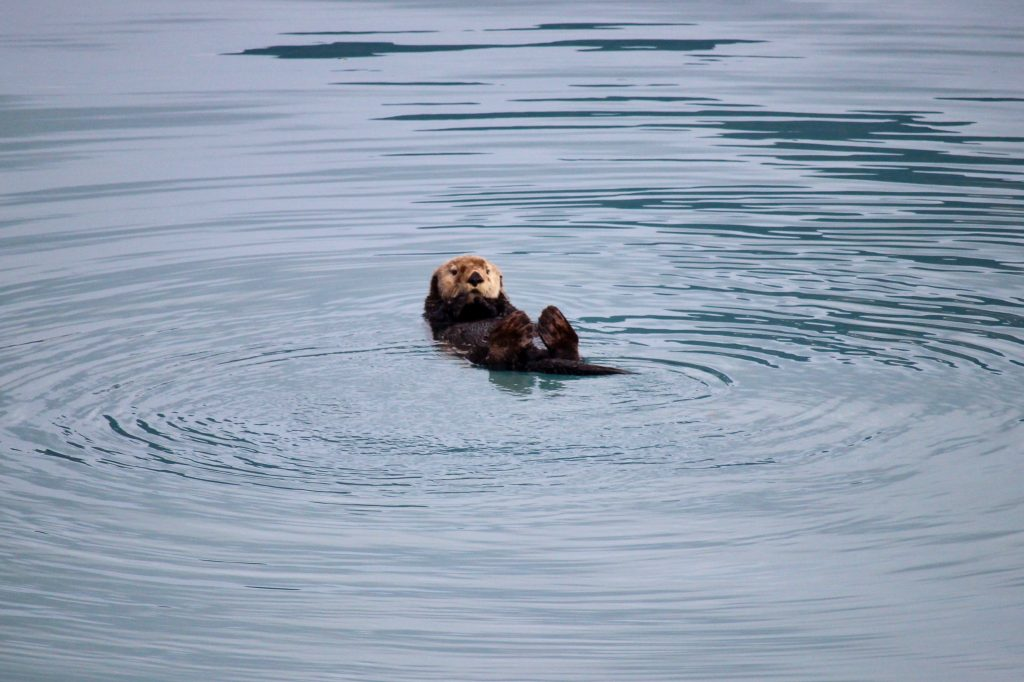 Lontra di mare in Alaska