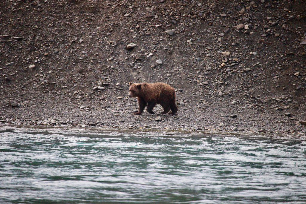 Orso in Alaska - penisola di Kenai