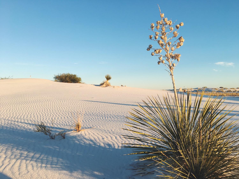 White Sands deserto di sabbia bianca - New Mexico - vegetazione