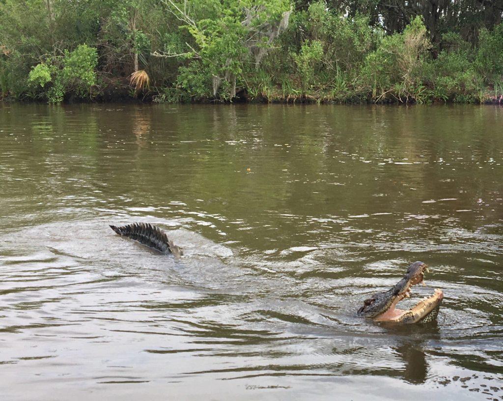 Vedere gli alligatori tra le paludi di New Orleans